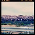 4月12日桜