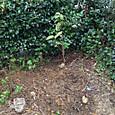 ハナミズキ 槭樹(結婚記念)
