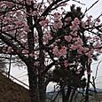 学校の小彼岸桜
