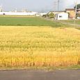 車窓から-麦畑