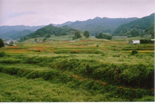 稲渕のヒガンバナ