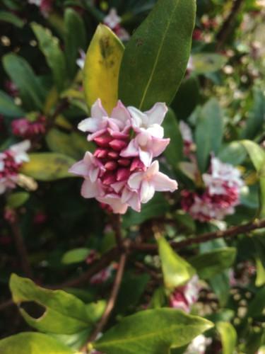 咲きました。沈丁花