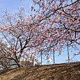 近所の散歩コースの桜