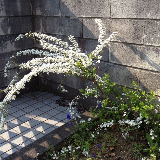 庭のユキヤナギ