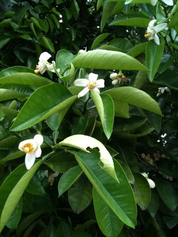 ハッサクの花