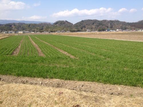 麦畑、いよいよ青く